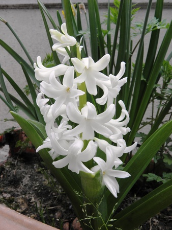 bloomy: Bloomy white hyacinth in the park