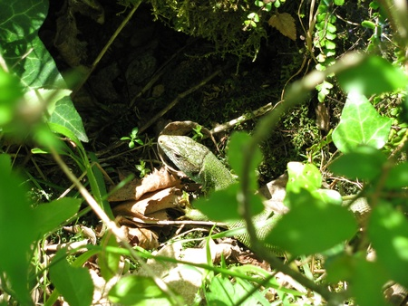 lacerta: Large green lizard -Lacerta viridis with a protective green color lurks in green plants