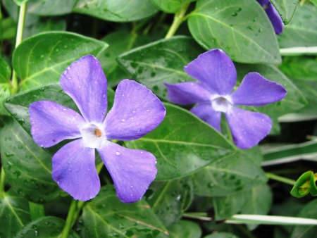Light purple flowers of Vinca minor stand out against the dark green leaves  photo