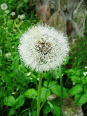 puffs: Ripe dandelion puffs of wind, waiting to spread