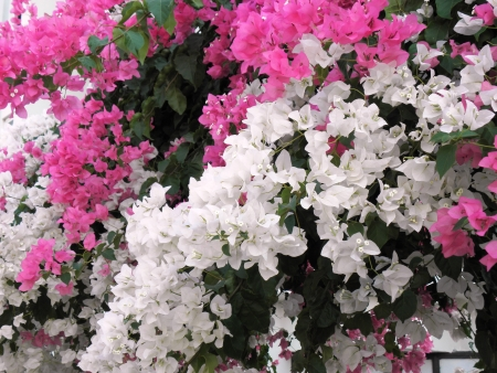 shurb: Beautiful Mediterranean shrub with dichroic colors blooming throughout the warm season  Stock Photo