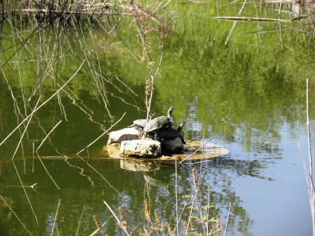 ancient turtles: Aquatic turtles are sunning themselves in the sun Stock Photo