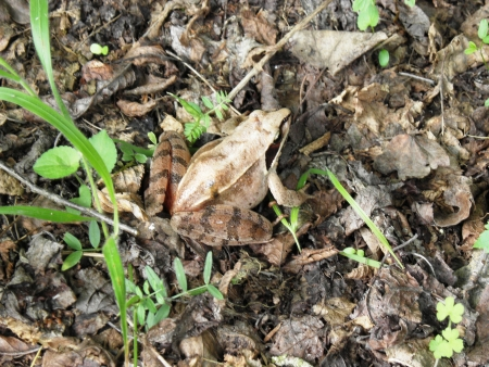 part frog: Mountain frog that lives on average higher parts of the Rhodope Mountains  Stock Photo