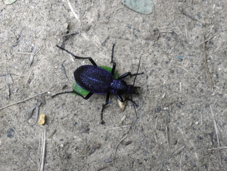carabidae: Large purple runner-Procerus scabrosus, protected species reaching up to 5 centimeters in length