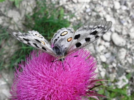 locally: Big and beautiful Apollo butterfly occurring locally in the mountains and a protected species in Europe