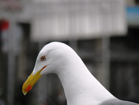 looking around: Perched seagull looking around  Stock Photo