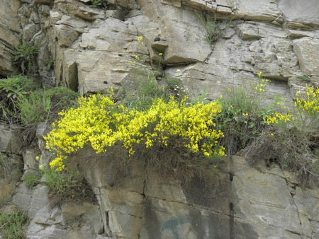 clump: A large clump of plants of the legume family growing on the rocks