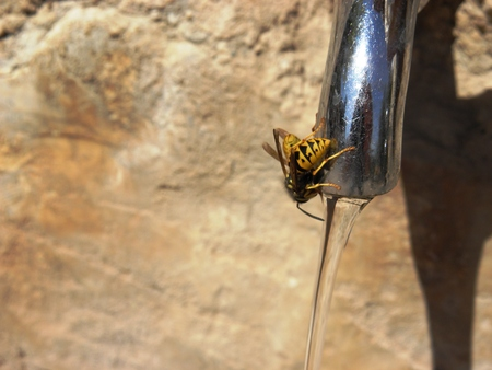 Wasp drinking water from the fountain in the summer heat.