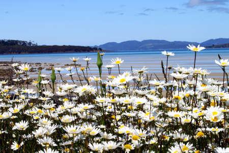 tasmania: Flowers Stock Photo