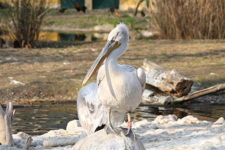 pelikan: white pelican in the nature