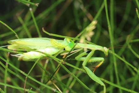mantis: Mantis