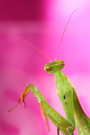 mantis Stock Photo - 14747714