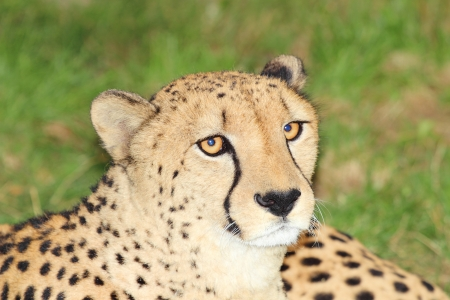 Cheetah in the nature photo