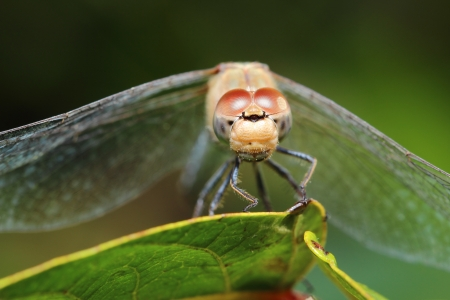 beautiful closeup of a dragonfly on a leaf in the nature Stock Photo