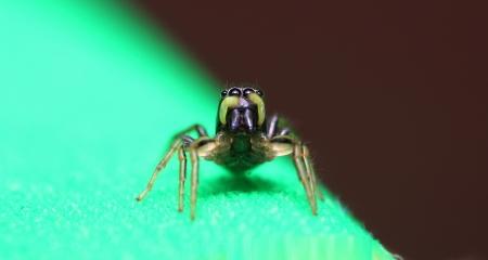 Heliophanus jumping spider