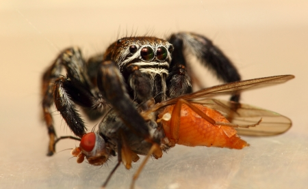 evarcha: Evarcha arcuata jumping spider feeding drosophila fly