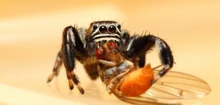 arcuata: Evarcha arcuata jumping spider feeding drosophila fly