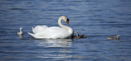 Swan with the own babys swimming in the danube river