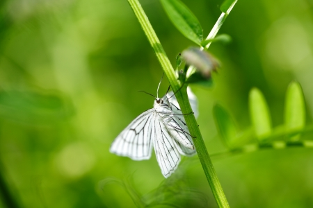 striped white Moth with natural green background