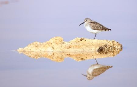 mohammad: Knot bird in Ras Mohammad National park Stock Photo