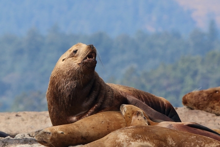 sea animal: sea lion