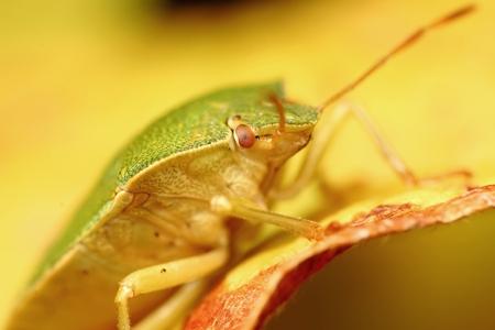 green shield bug: green shield bug