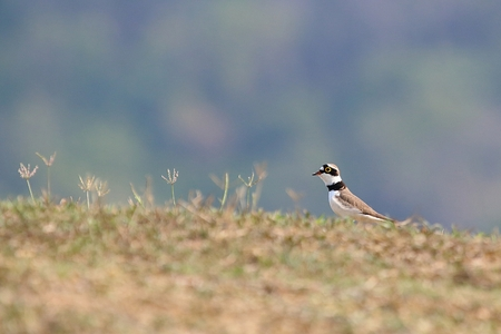 plover: little ringed plover