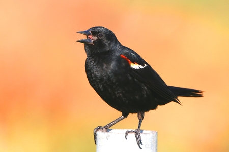 red winged: red winged blackbird