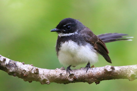 fantail: white throated fantail