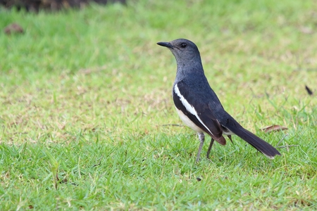 magpie: Magpie Robin