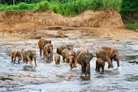 Elefants crossing a  river photo