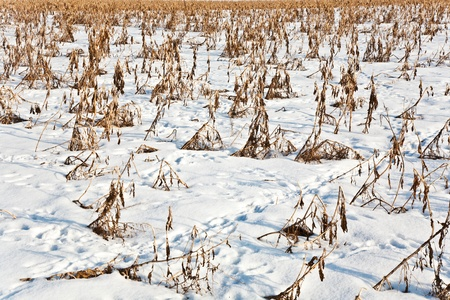 acre: acre covered with snow and corn from last harvest Stock Photo