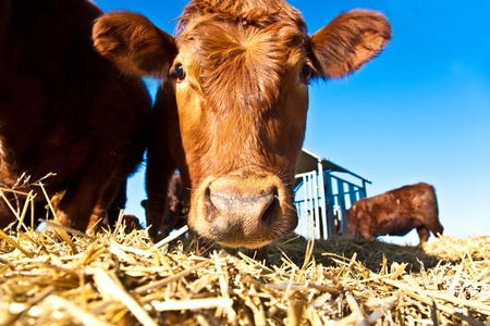 bullock animal: mouth of friendly cattle on straw with blue sky Stock Photo