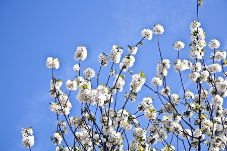 Close-up branch of  white bloom in spring photo