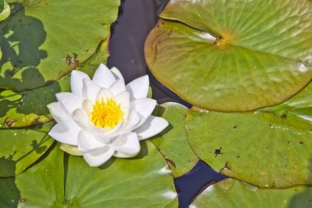 Japanese white lotus water lily in lake photo