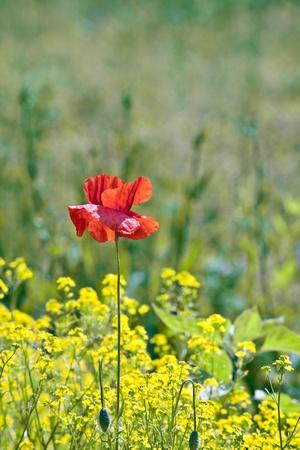 beautiful red poppy flower in rape on meadow photo