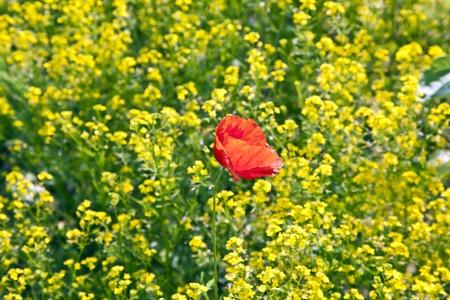 bella flor de amapola roja en campo de violaci�n Foto de archivo - 9163952
