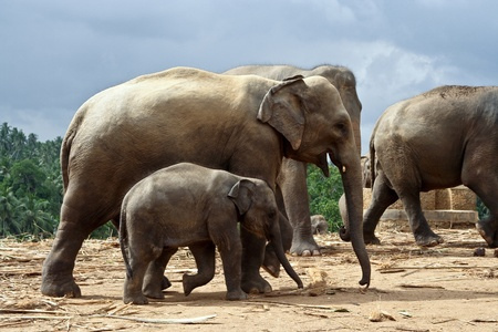 elefant family stays together in the wilderness photo