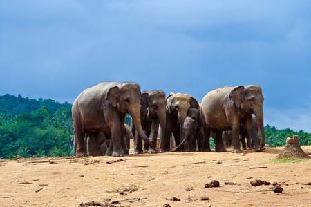 flock of elephants in the wilderness near Pinnawela photo