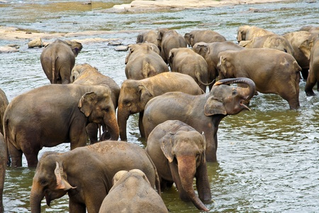 flock of elephants bathing in the river photo