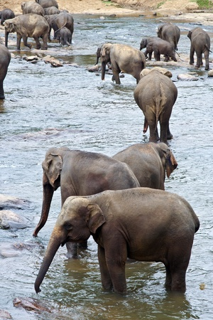 flock of elephants in the river near Pinawella photo