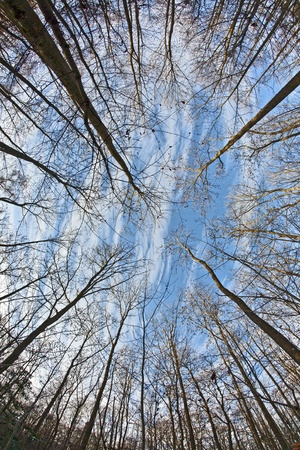 concentration: crown of trees in forest with blue sky