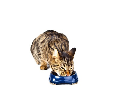 hungry cat eating from the food bowl photo