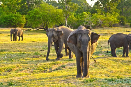 wild elefants in the jungle in Sri Lanka