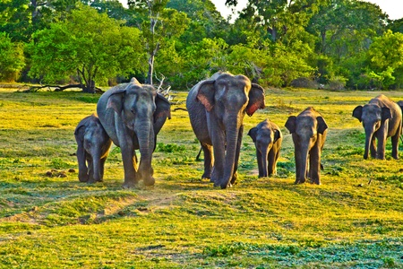 flatland: wild elefants in the jungle in Sri Lanka