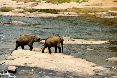 Junge Elefanten beim Spielen und Flussdurchquerung photo