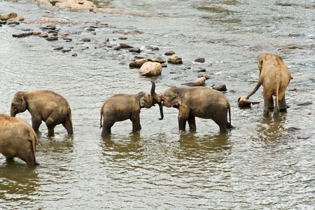 Elefanten baden im Fluss, bei Pinnawella photo