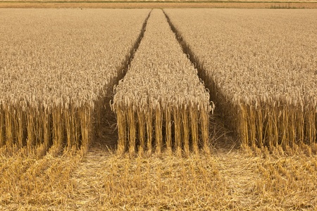 harvest organic: golden corn fields with corn ready for harvest
