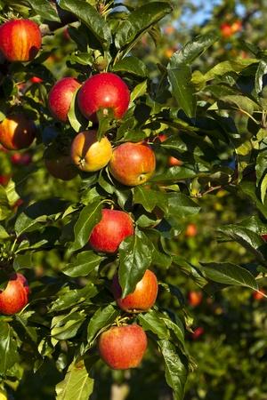 albero di mele: mele mature su un ramo di albero contro il cielo blu Archivio Fotografico