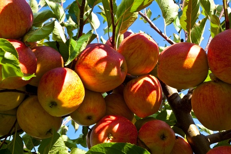 apple tree: ripe fruity apples at the tree